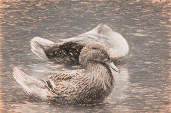 Photograph - Headless Honey Duck Sketch by Don Northup