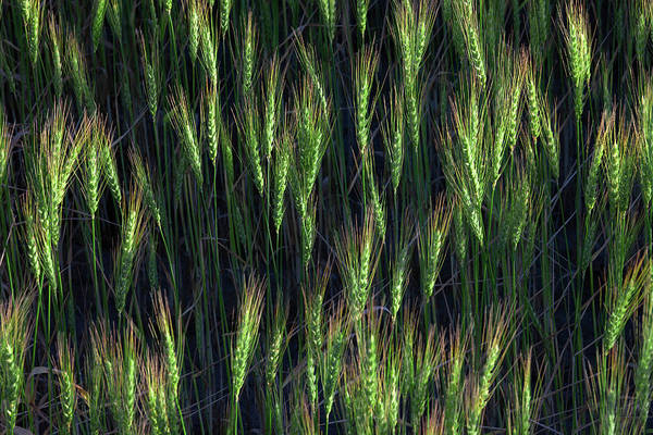Photograph - Heads Of Green Wheat by Todd Klassy