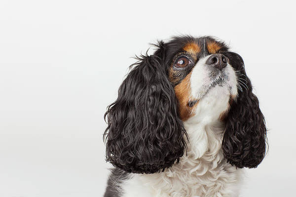 Wall Art - Photograph - Headshot Of Cavalier King Charles by Compassionate Eye Foundation/david Leahy