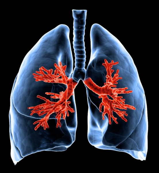 Lung Digital Art - Healthy Lungs, Artwork by Science Photo Library - Andrzej Wojcicki