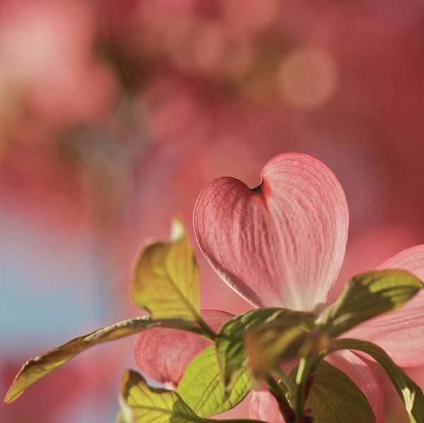 Dogwoods Photograph - Heart Bloom by Pamela Long