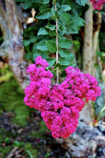 Photograph -  Heart Shaped Crape Myrtle Flowers by Cynthia Guinn