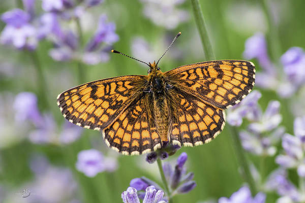 Photograph - Heath Fritillary On The Lavender by Torbjorn Swenelius