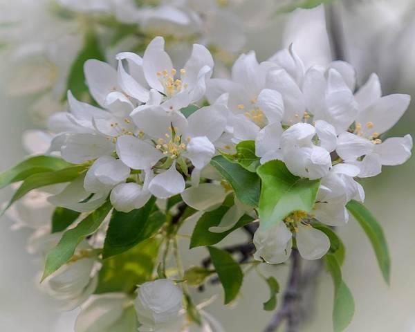 Photograph - Heavenly Blossoms by Susan Rydberg