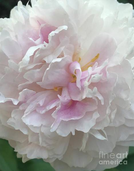 Photograph - Heavenly Peony by Carol Groenen