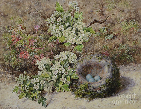 Wall Art - Painting - Hedge Sparrows Nest And Hawthorn by Helen Cordelia Coleman Angell