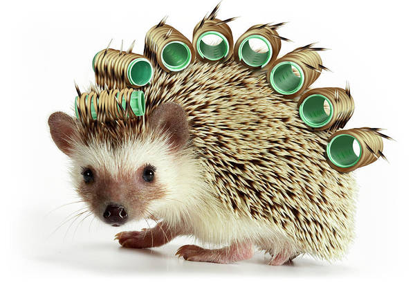 Hedgehog Photograph - Hedgehog Wearing Hair Rollers, Close-up by American Images Inc