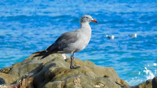 Photograph - Heermann's Gull by Dan Miller