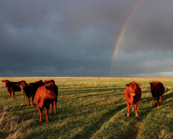 Photograph - Heifers And Rainbow by Rob Graham