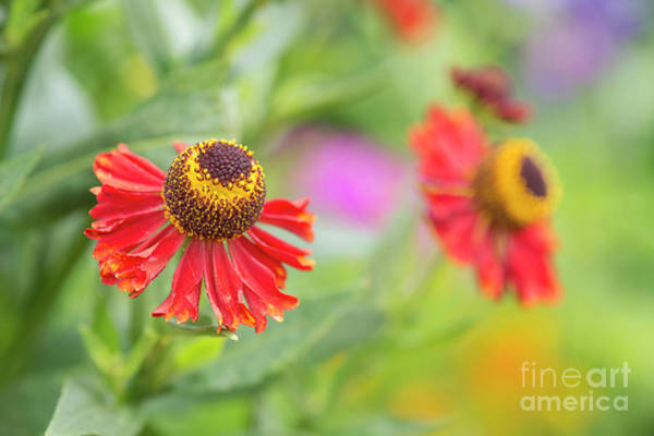 Wall Art - Photograph - Helenium Autumnale Helena Rote Tone Flower  by Tim Gainey