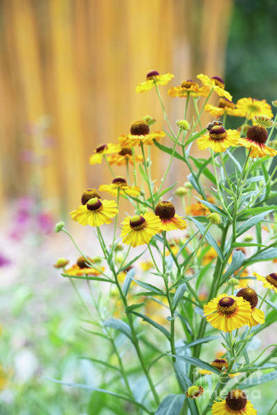 Photograph - Helenium Autumnale Sunshine Hybrids by Tim Gainey