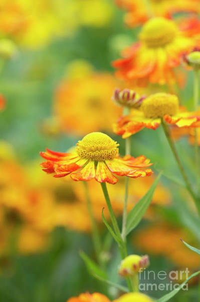 Wall Art - Photograph - Helenium Oldenburg In Flower by Tim Gainey