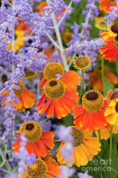Purple Sage Photograph - Helenium Sahins Early Flowerer In Summer by Tim Gainey