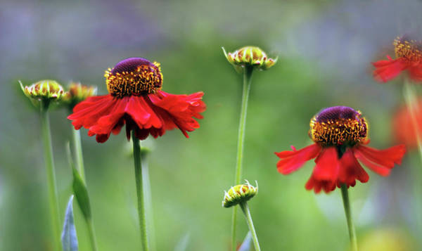 Wall Art - Photograph - Helenium Sway by Jessica Jenney