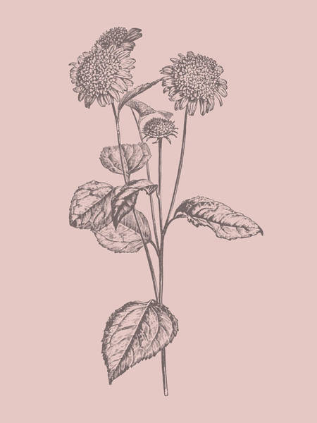 Love Mixed Media - Helianthus Blush Pink Flower by Naxart Studio