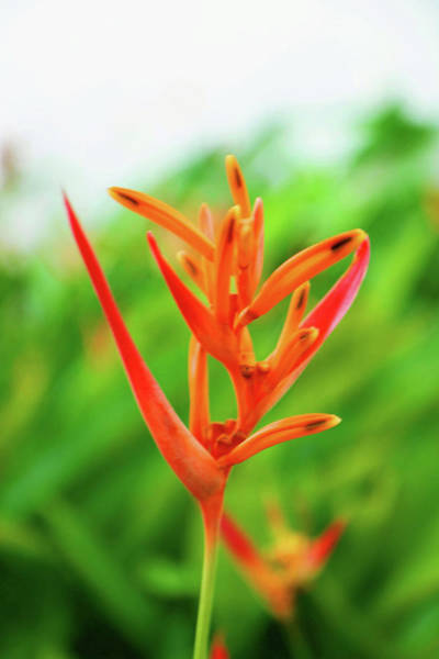 Photograph - Heliconia Beauty by Christine Chin-Fook