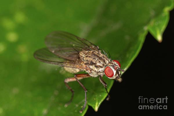 Photograph - Helina Fly by Brian Roscorla