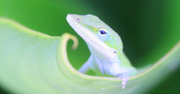 Photograph - Hello, Anole. 2 by J Vincent Scarpace