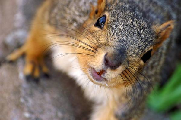 Photograph - Hello Mr. Squirrel by Don Northup