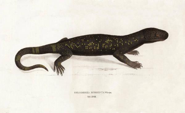 Drawing - Heloderma Horridum, Beaded Lizard by Unknown