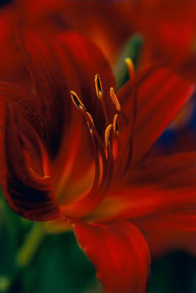 Hemerocallis Var. Stafford Day Lily Art Print