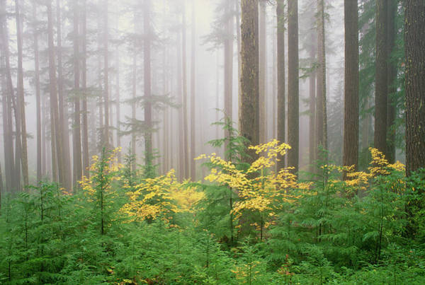 Hemlock Photograph - Hemlock And Vine Maple Trees In The by Mint Images - David Schultz