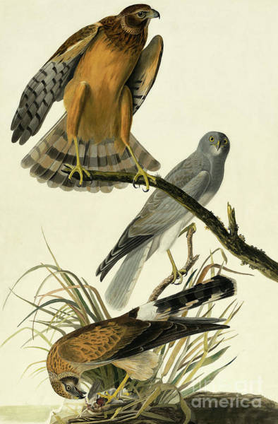 Painting - Hen Harrier, Circus Cyaneus By Audubon by John James Audubon