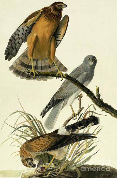 Marsh Bird Painting - Hen Harrier, Circus Cyaneus By Audubon by John James Audubon