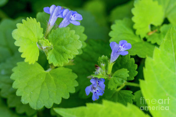Wall Art - Photograph - Henbit Wildflower 5272c by Doug Berry