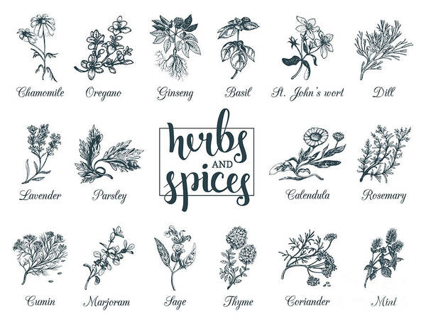 Engraved Digital Art - Herbs And Spices Set. Hand Drawn by Vlada Young