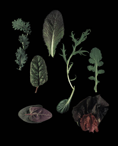 New Leaf Photograph - Herbs Leaves On Black by Davies And Starr