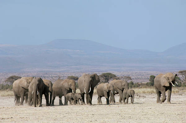 Marching Photograph - Herd Of African Elephants, Amboseli by Cultura Exclusive/philip Lee Harvey