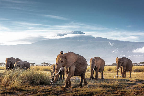 Wall Art - Photograph - Herd Of African Elephants In Front Of Kilimanjaro by Susan Schmitz