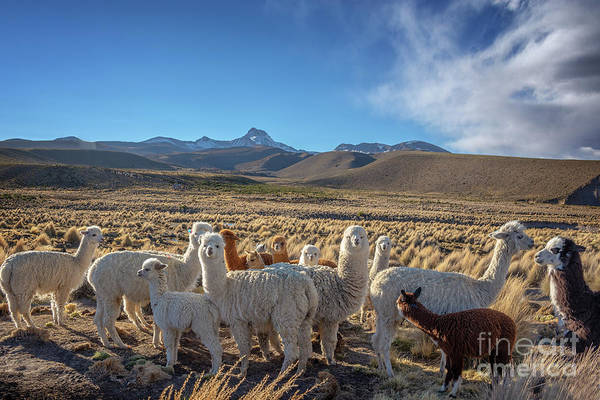 Bolivia Photograph - Herd Of Alpacas, Bolivia by Delphimages Photo Creations
