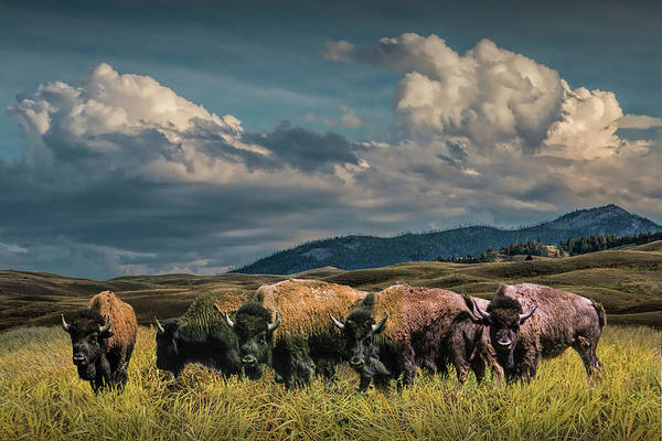 Photograph - Herd Of American Buffalo Bison Grazing In Yellowstone by Randall Nyhof