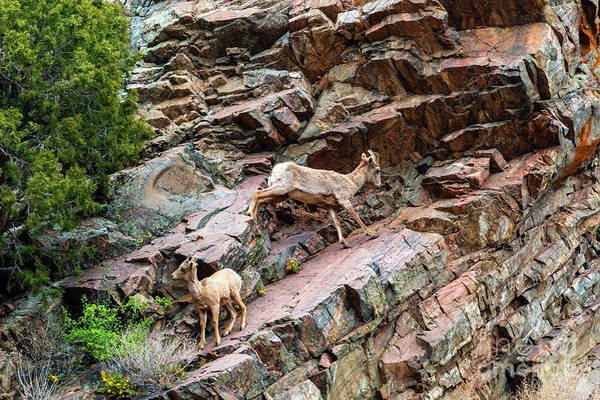 Photograph - Herd Of Bighorn Sheep At Play by Steve Krull