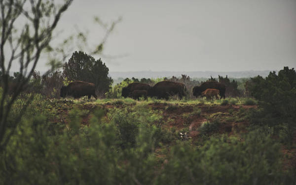 Photograph - Herd Of Bison by Andrea Anderegg