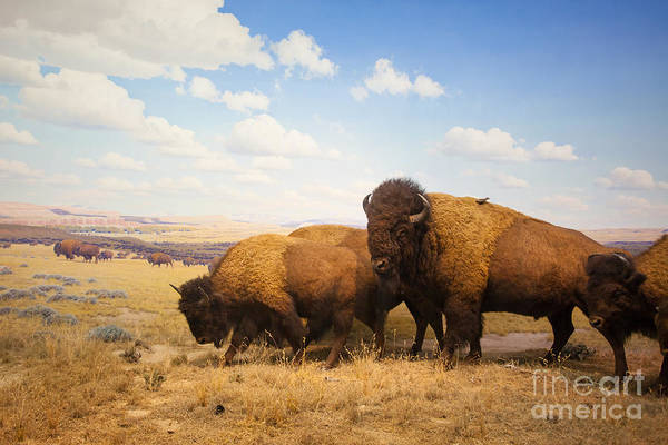 National Wildlife Refuge Photograph - Herd Of Bison by Pricem