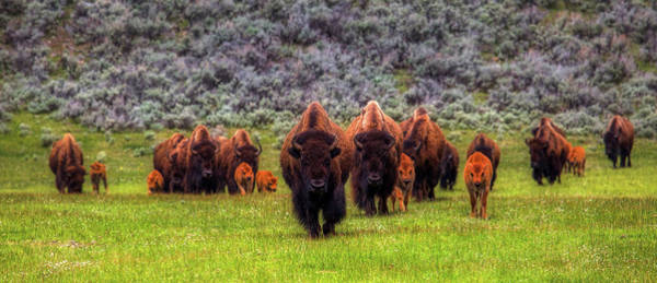 Wall Art - Photograph - Herd Of Bison With Calves - Yellowstone by N P S Neal Herbert