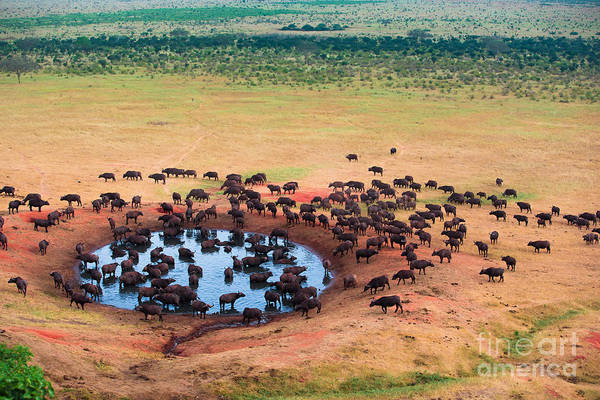 Jeep Wall Art - Photograph - Herd Of Buffaloes In Water Hole by Andrzej Kubik