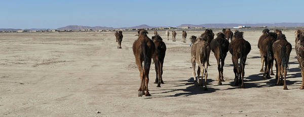 Herd Of Camels Crossing The Highway Near  Rissani Art Print