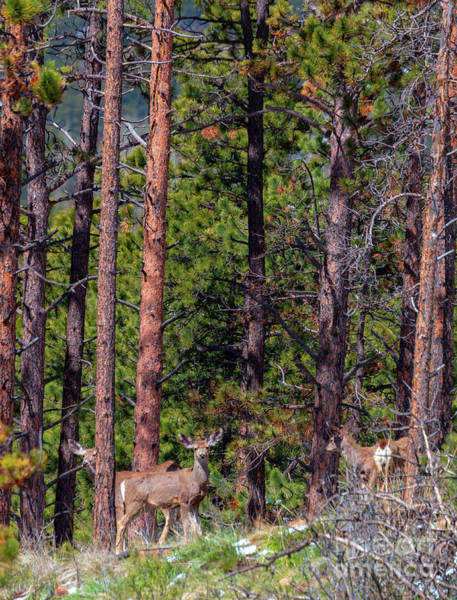 Photograph - Herd Of Colorado Springtime Mule Deer by Steve Krull