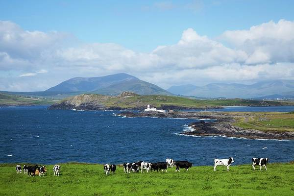 Grazing Photograph - Herd Of Cows Grazing The Coast by Design Pics / Peter Zoeller