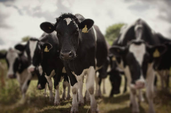 Wall Art - Photograph - Herd Of Cows by Malcolm Smith