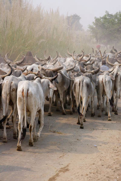 Dust Photograph - Herd Of Cows On Road, Delhi, India by Danita Delimont