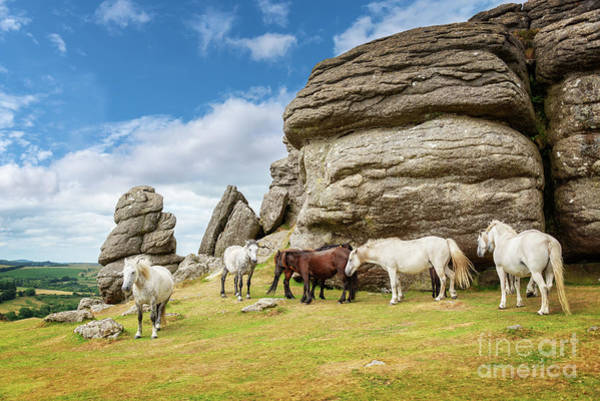 White Horse Photograph - Herd Of Dartmoor Ponies by Delphimages Photo Creations