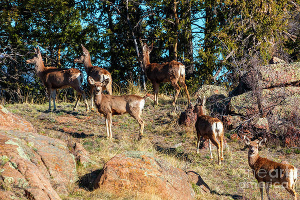 Photograph - Herd Of Deer On The Mountainside by Steve Krull