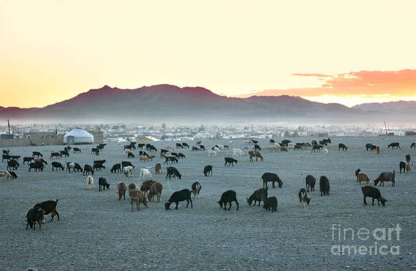 Wall Art - Photograph - Herd Of Goats In The Sunset At by Joyfull