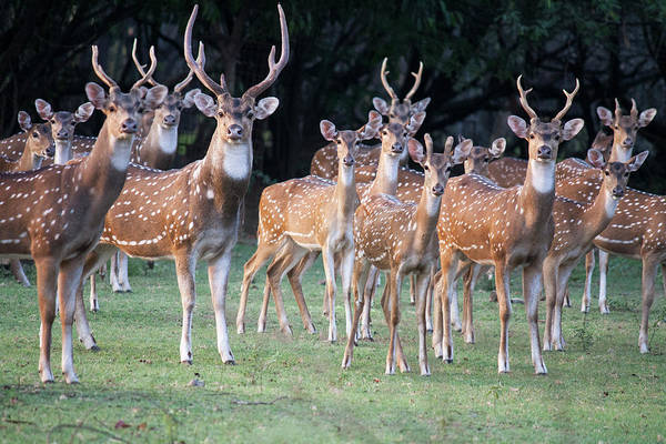 In The Grass Photograph - Herd Of Indian Spotted Deer Chital by Athul Krishnan (www.athul.in)