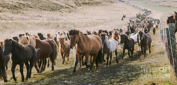 Photograph - Herd Of Lovely Icelandic Horses Riding Towards The Meeting At Th by Joaquin Corbalan